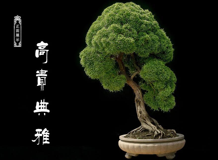 浙派盆景图片 真柏盆景