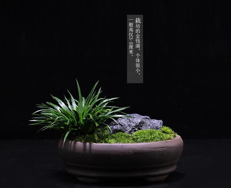 盆景图片 菖蒲盆景