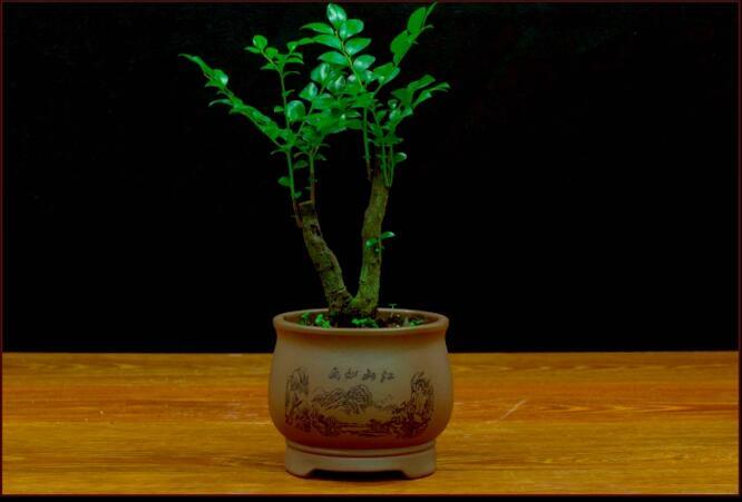 盆景图片 小叶紫檀盆景